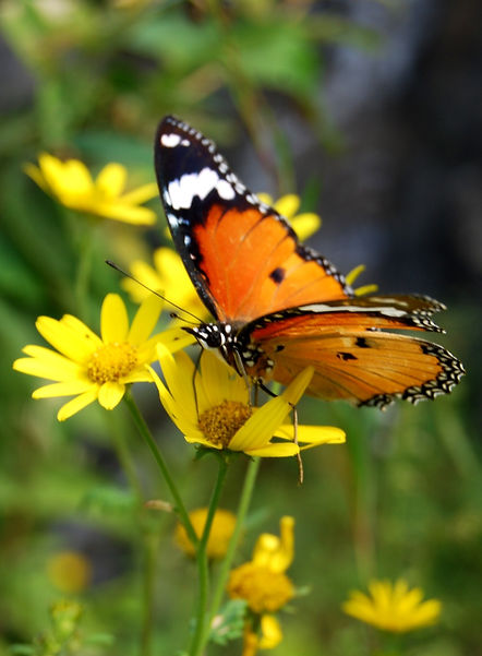 Mountain_Butterfly_in_india_edited.jpg