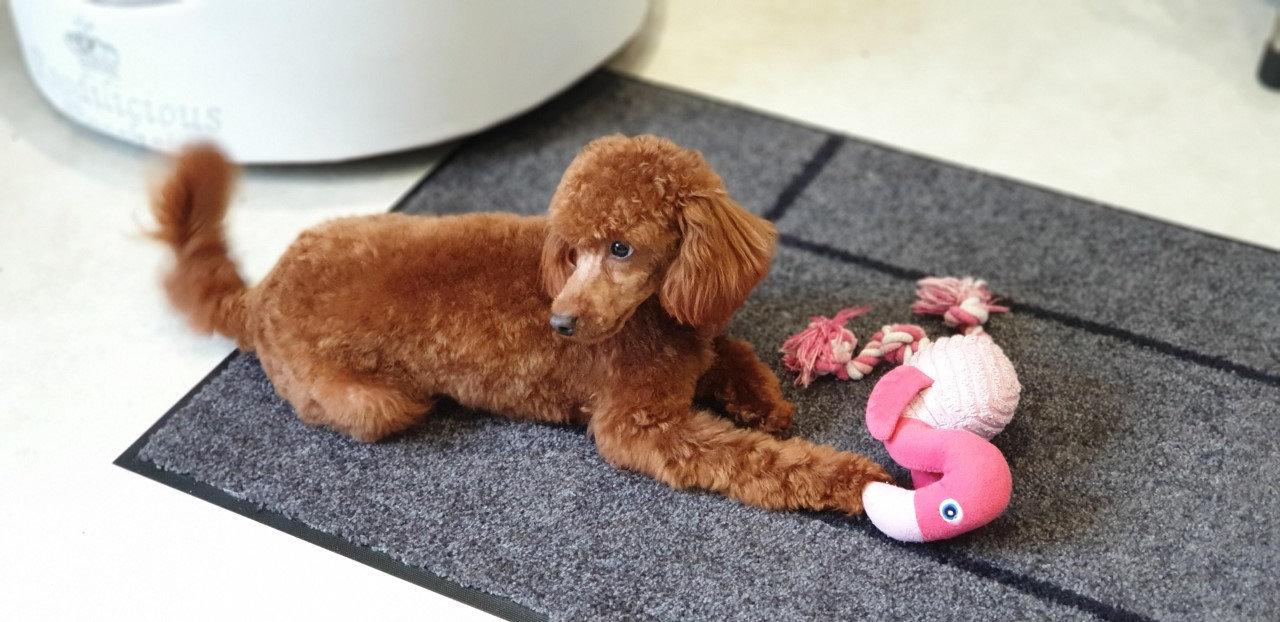 Adonis Red Toy Poodle Stud
