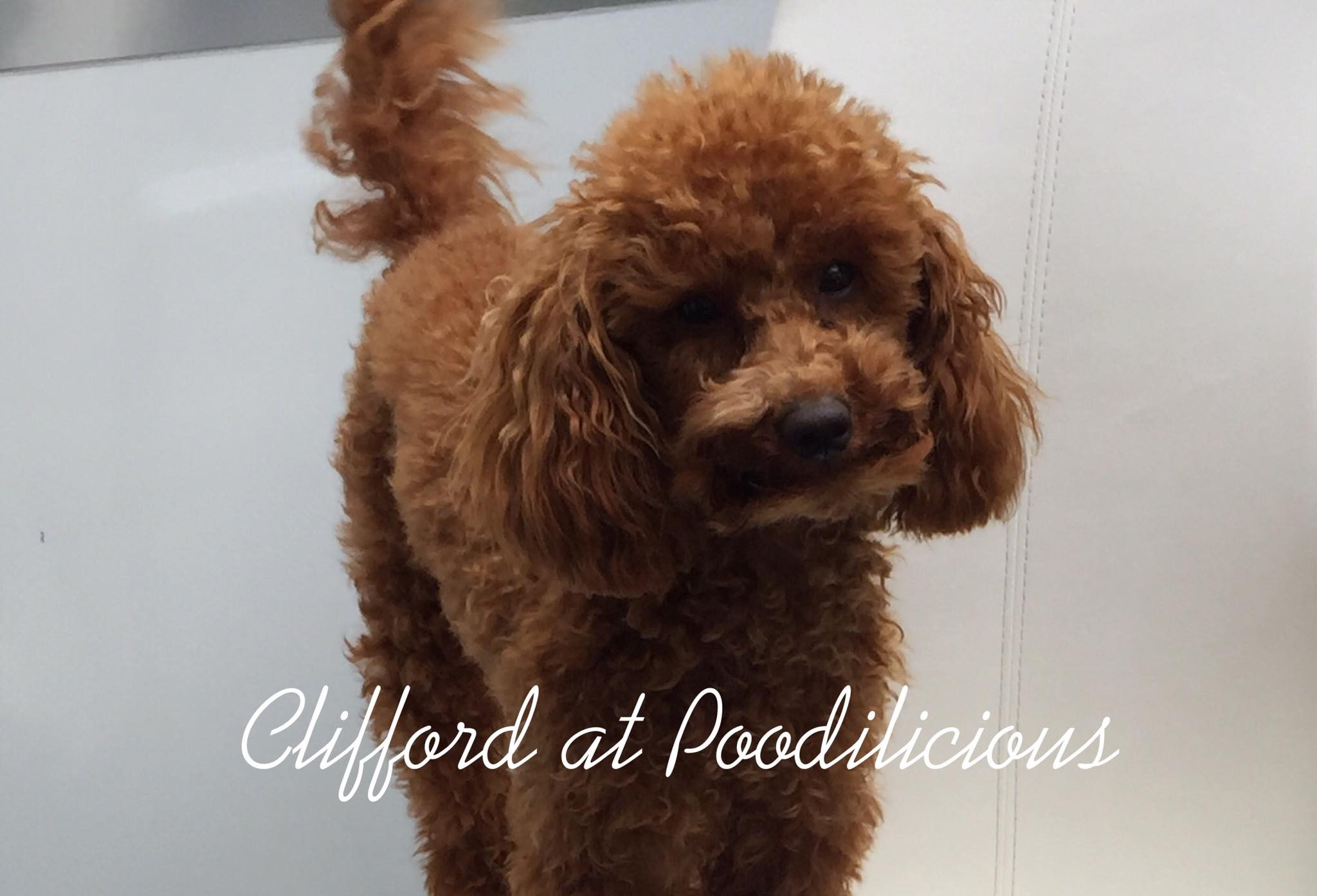 Clifford Red Toy Poodle Stud Service