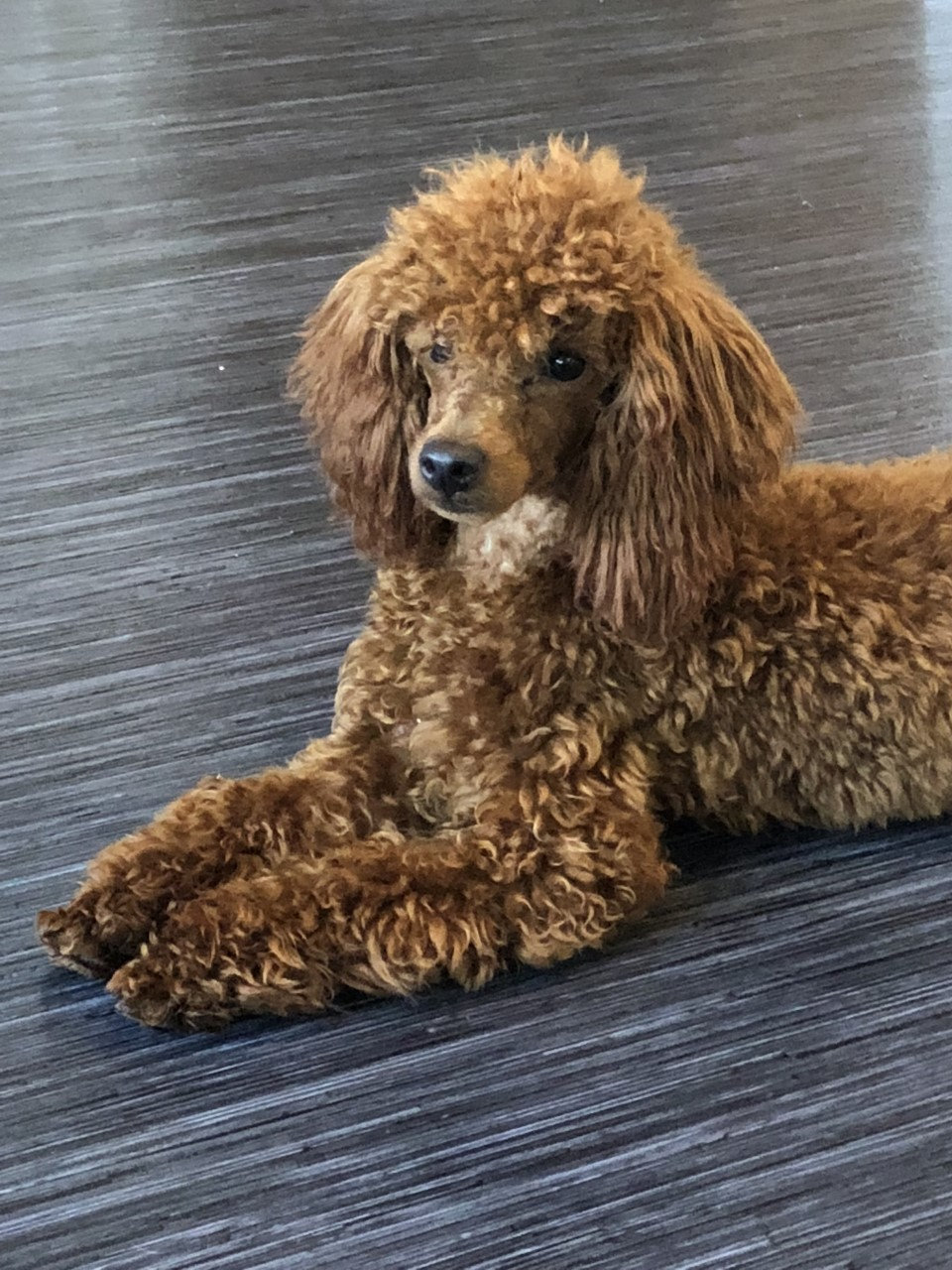 Rusty Red Toy Poodle Stud