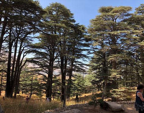 Cedars.jpg