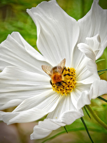 Bee in a Cosmos 1