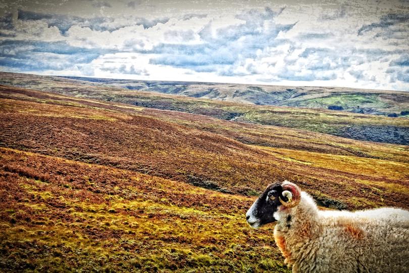 Ram on the Moors