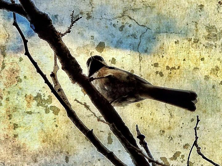 Chickadee High in a Tree