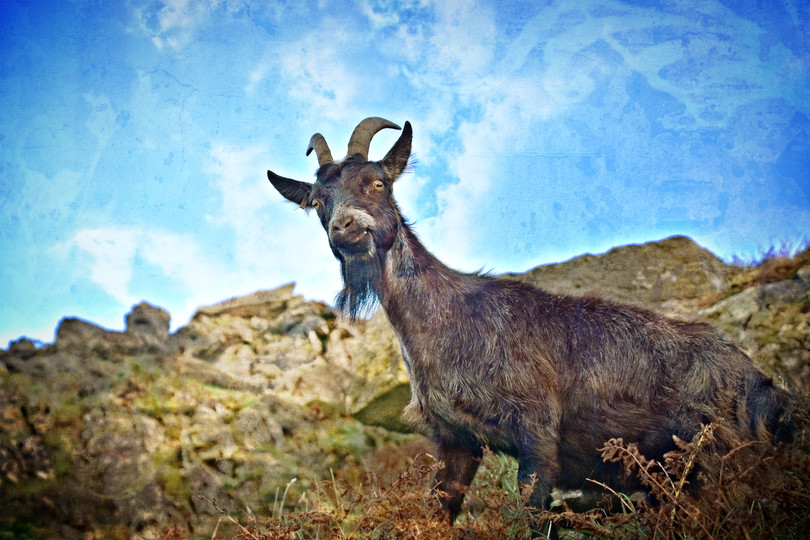 Goat on the Cliff 3