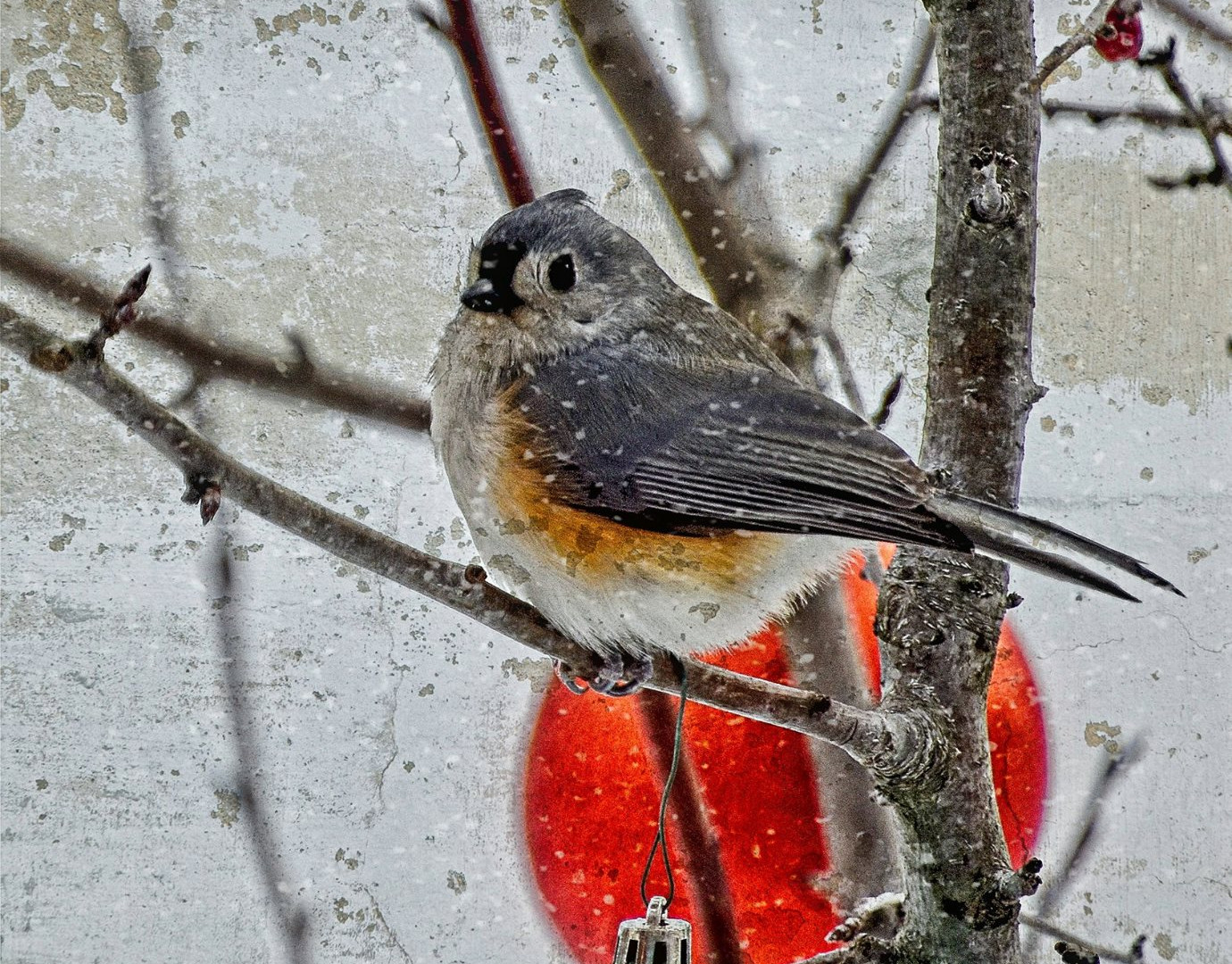 Christmas Tufted Titmouse