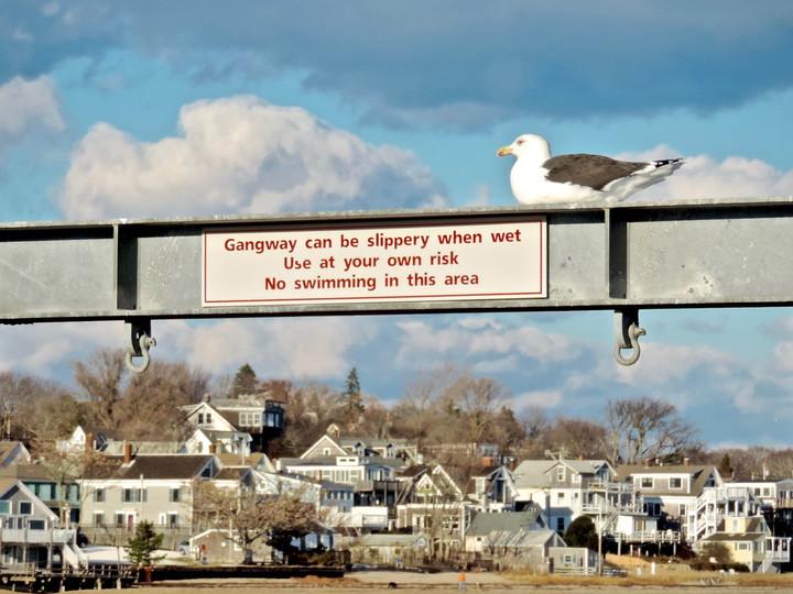 Herring Gull on a Sign
