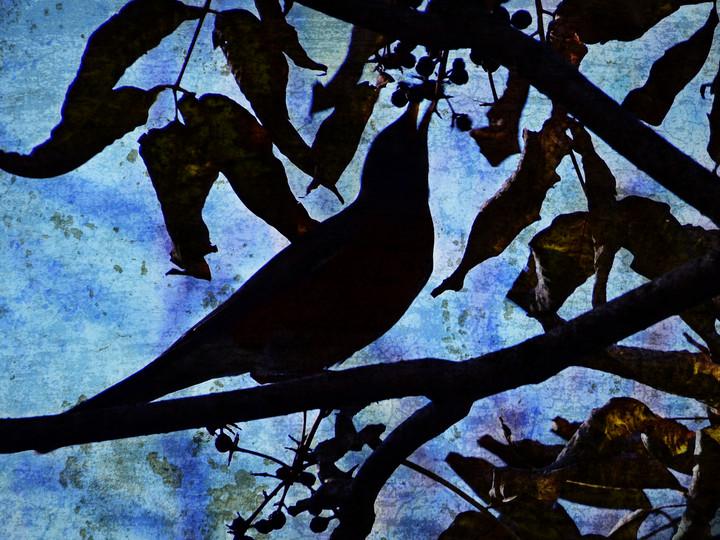 Robin Feasting on Berries - Silhouette