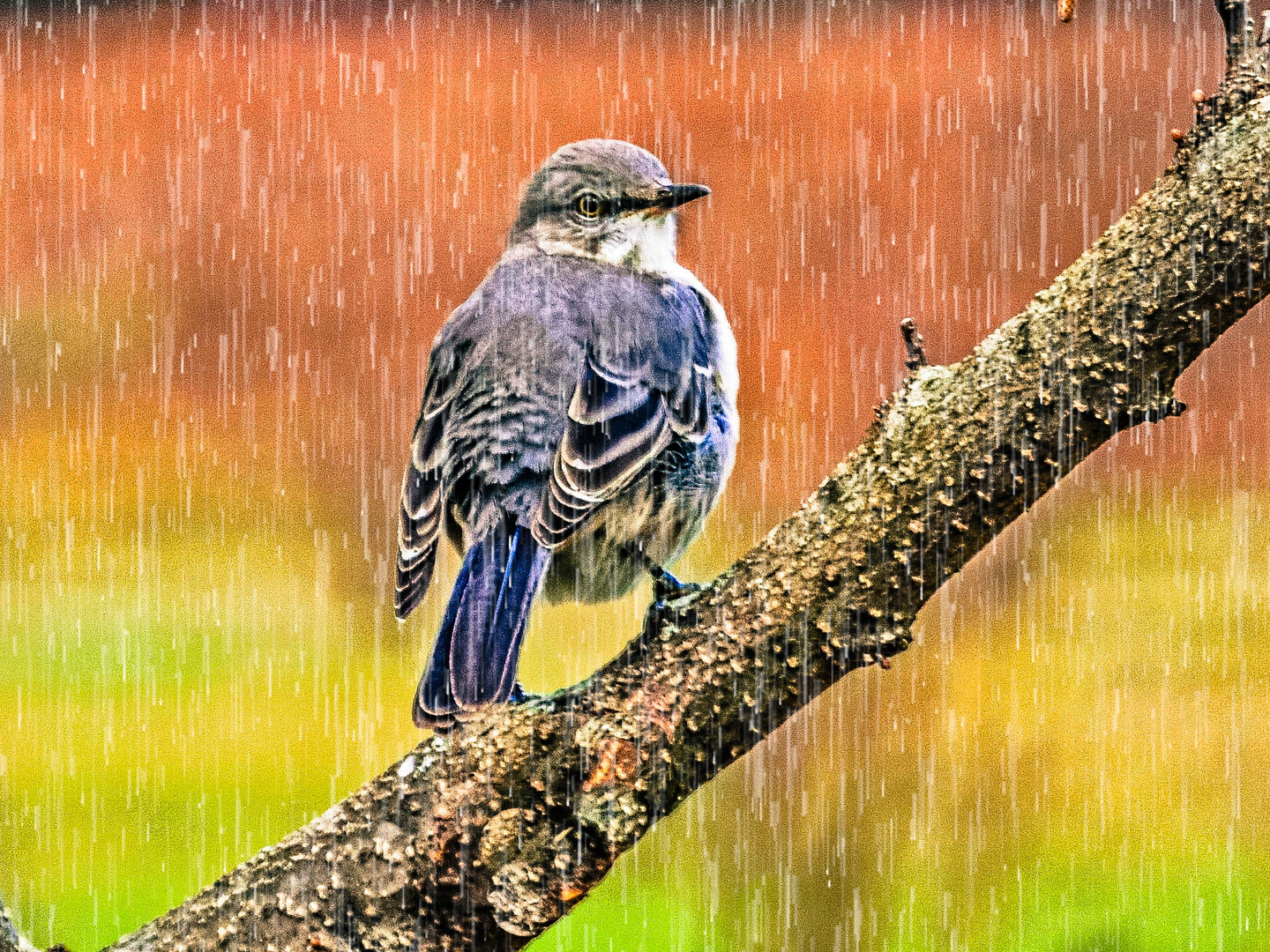 Mockingbird in the Rain