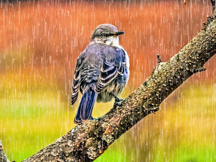 Mockingbird in the Rain