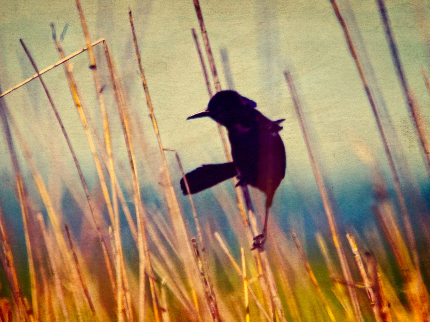 Boat-tailed Grackle Silhouette