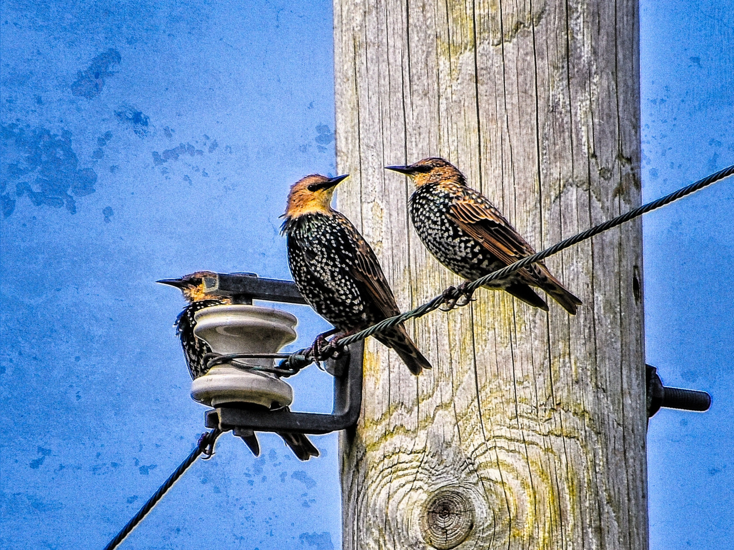Juvenile Starlings by a Telephone Pole
