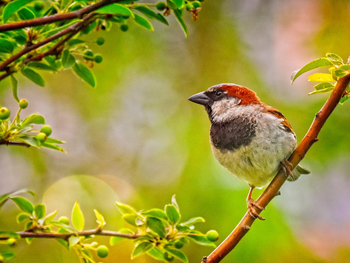 House Sparrow on Crabapple Tree