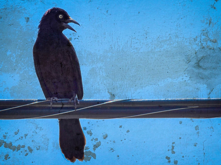 Grackle on a Wire