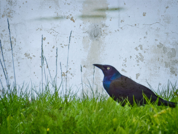 Common Grackle at the Pond
