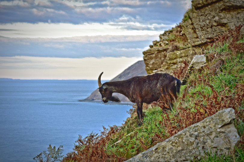 Goat on the Cliff 2