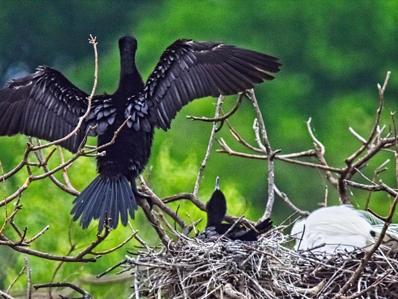 Cormorant Nest