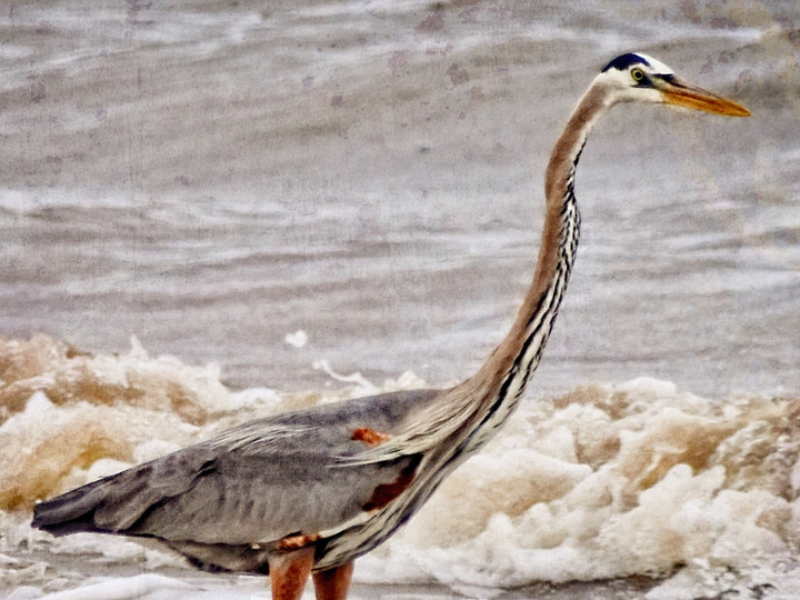 Great Blue Heron Wading in the Gulf