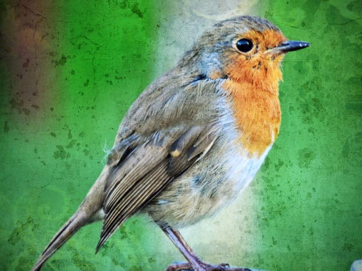 English Robin in a Churchyard