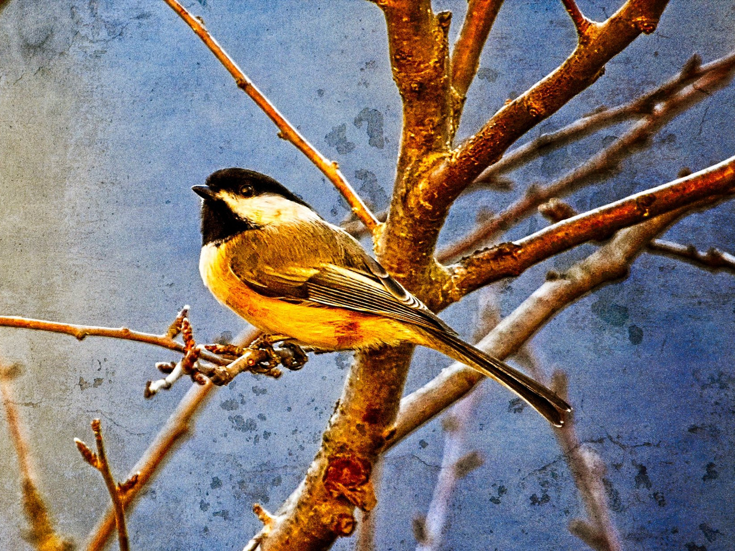 Chickadee on Crabapple Tree