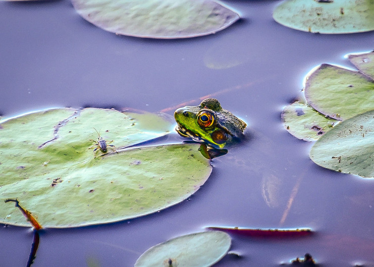 Frog Eyeing Bug