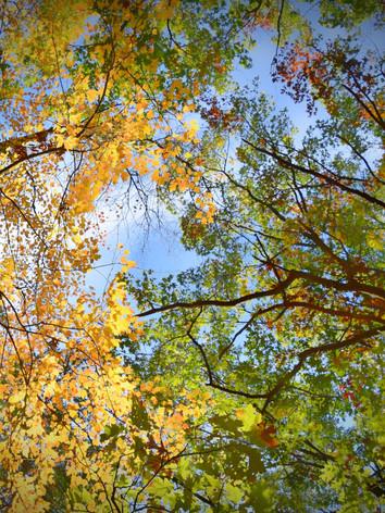 Hawthorne's Trees