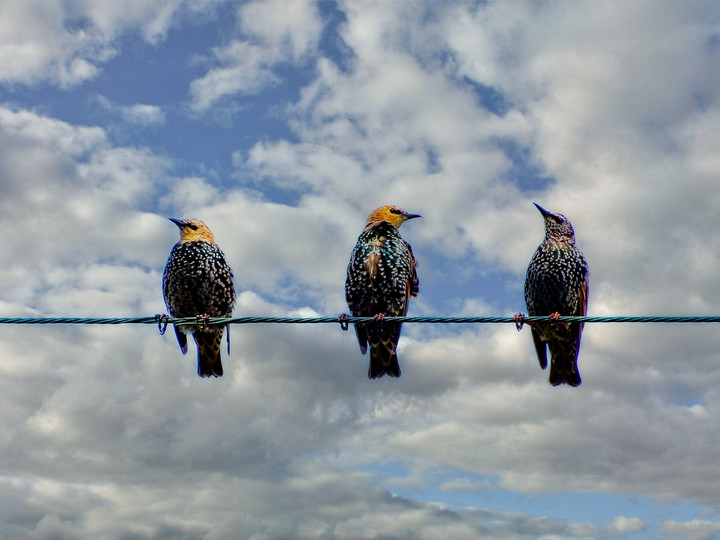 Juvenile Starlings on a Wire