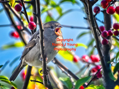 House Sparrow Calling on Crabapple Tree