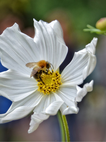 Bee in a Cosmos 2