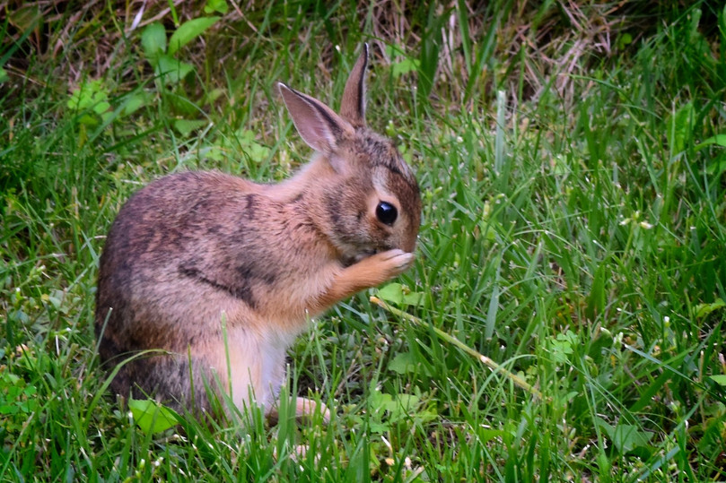 Young Bunny