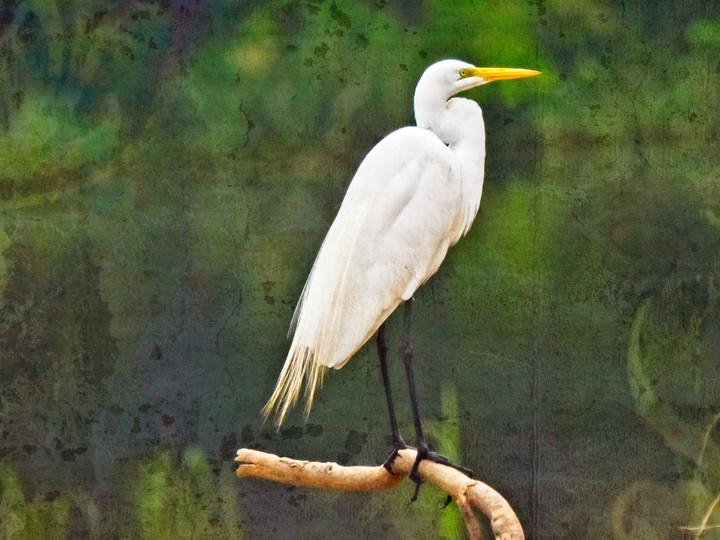 Great Egret Perching