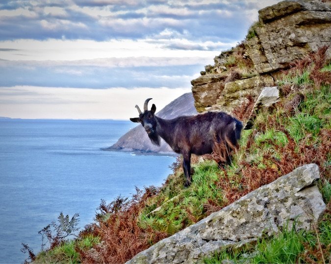 Goat on the Cliff 1