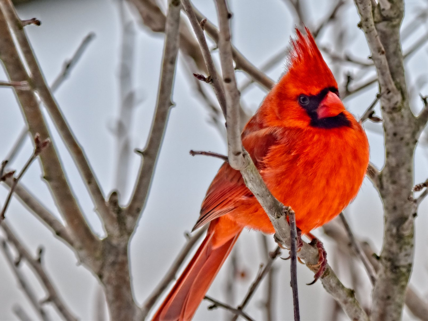 Cardinal in Winter Tree