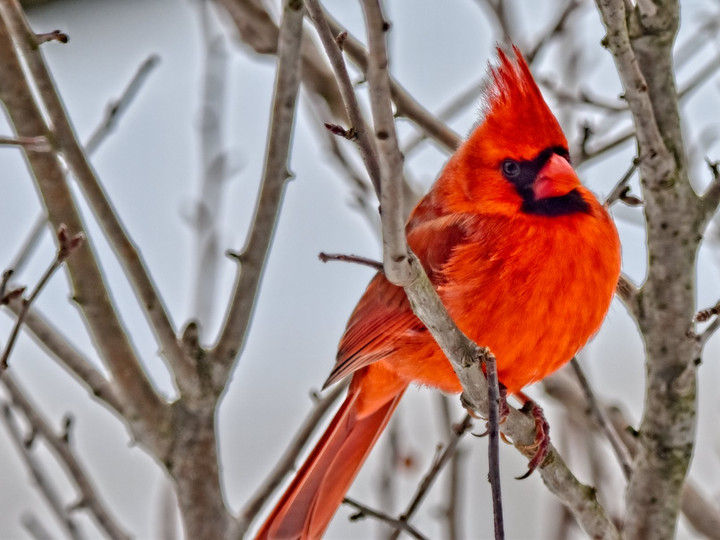 Cardinal in Winter Tree