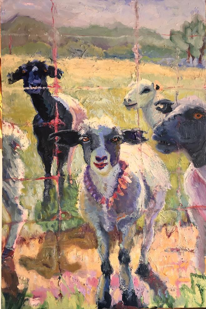 ranch sheep