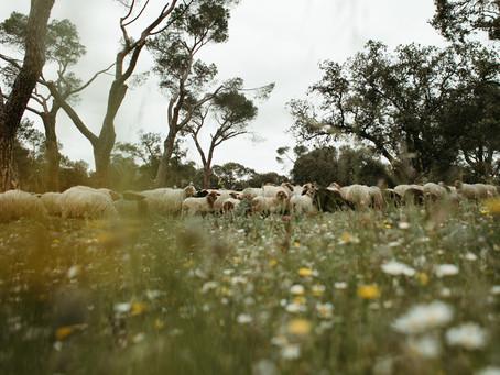 Plan de sábado: estar con las ovejas