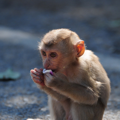 Pig-tailed Macaque3.jpg