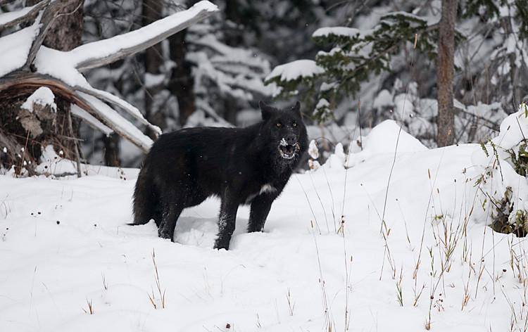 Black Wolf howling.jpg