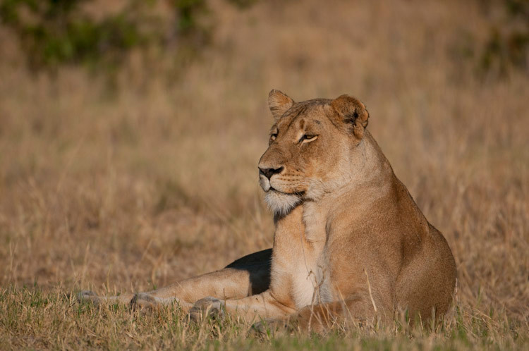 African Lion female.jpg