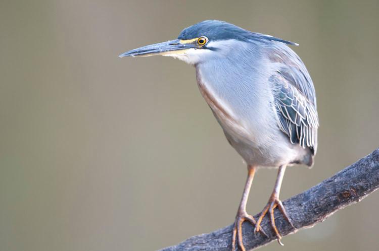 Striated Heron.jpg