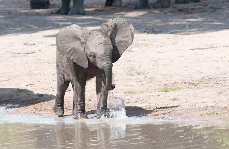 African Elephant 3.jpg