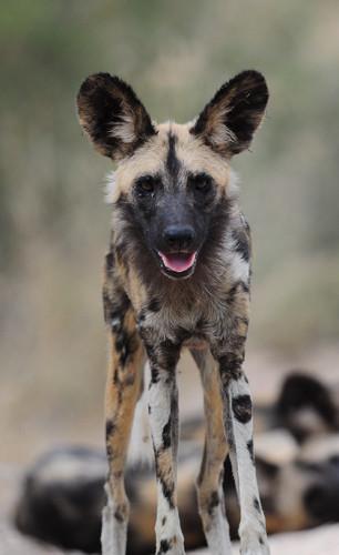 African Wild Dog.jpg