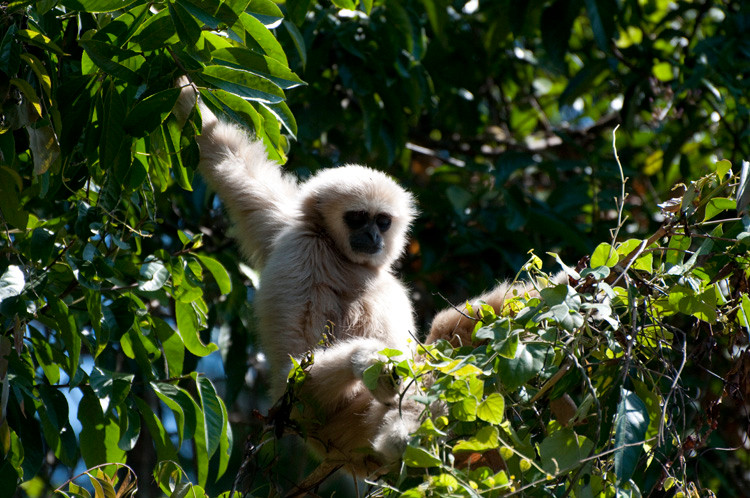 White-handed Gibbon young.jpg