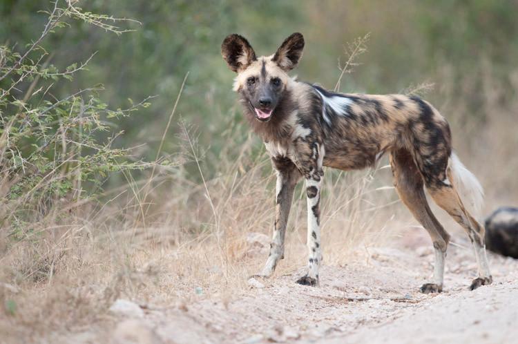 African Wild Dog 2.jpg
