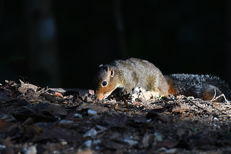 Red-cheeked Squirrel.jpg