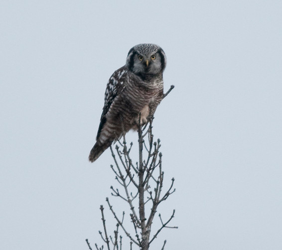 Hawk Owl.jpg