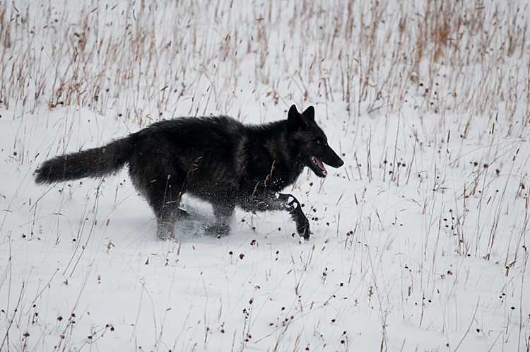 Black and silver Wolf.jpg