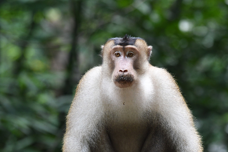 Long-tailed Macaque.jpg