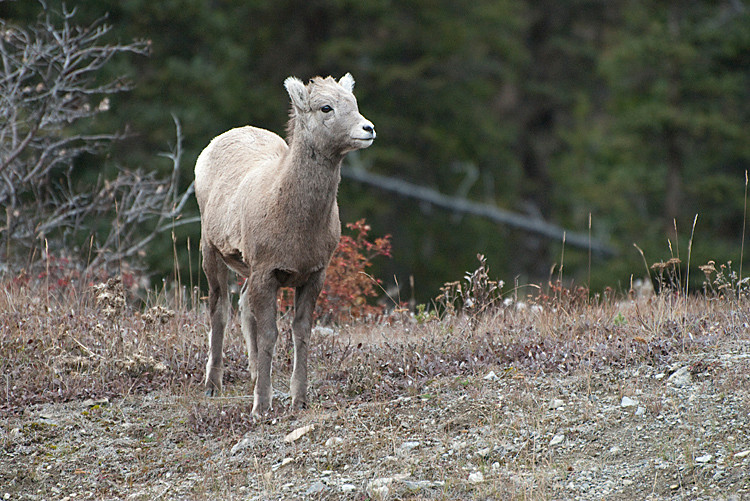 Bighorn Sheep youngster.jpg