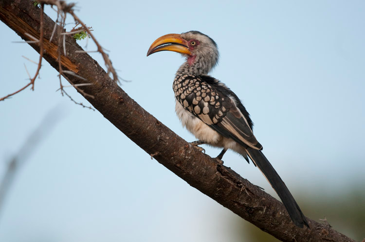 Southern Southern Yellow-billed Hornbill